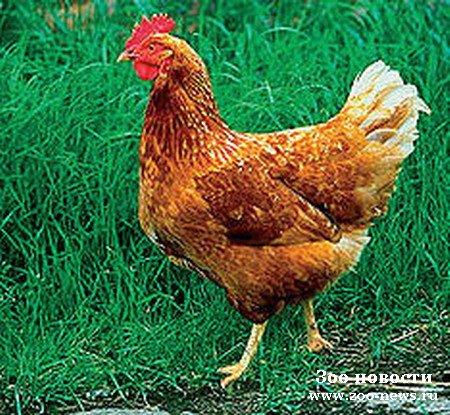 Отправить почту.  Продаю Кур,Цыплят, Яйцо инкубационное.