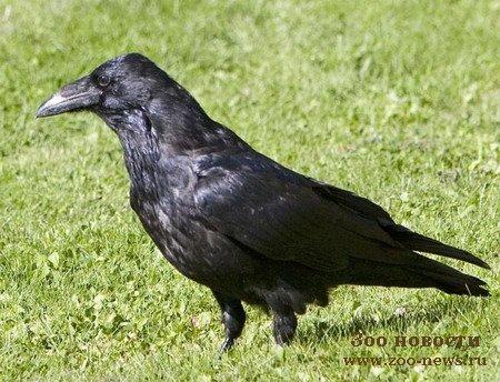 Названием глухарь птица обязана известной особен-ности токующего в.